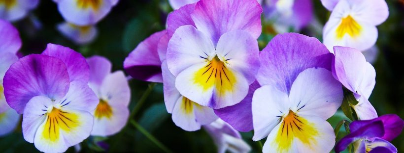 pansy-337140_1280
